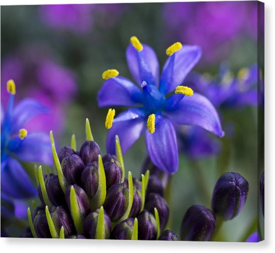 Canvas Print featuring the photograph Scilla Peruviana by Priya Ghose