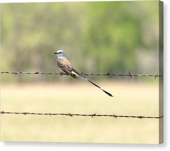 Scissor-tailed Flycatcher Canvas Print