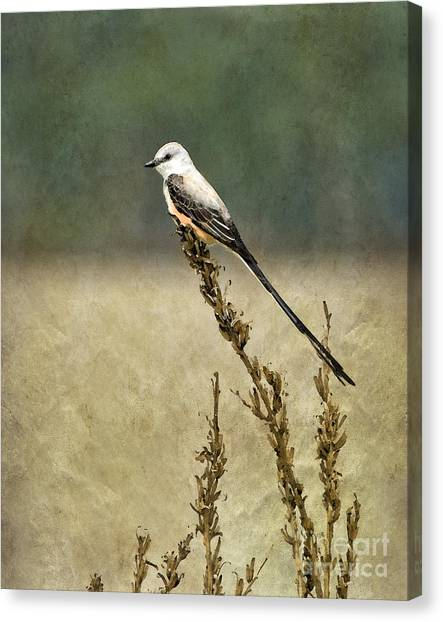 Flycatchers Canvas Print - Scissortailed-flycatcher by Betty LaRue
