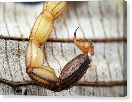 Costa Rican Canvas Print - Scorpion Sting by Nicolas Reusens