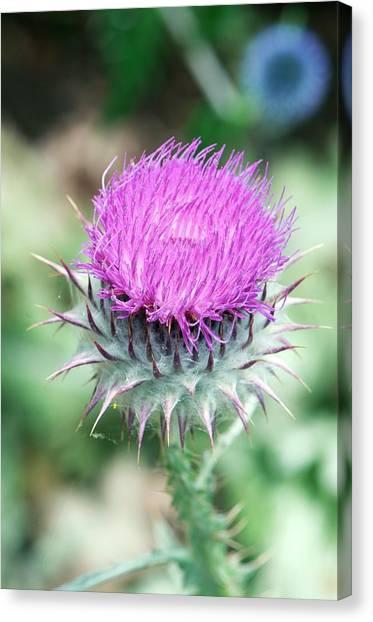 Scotch Canvas Print - Scotch Thistle (onopordum Acanthium) by Sam K Tran/science Photo Library