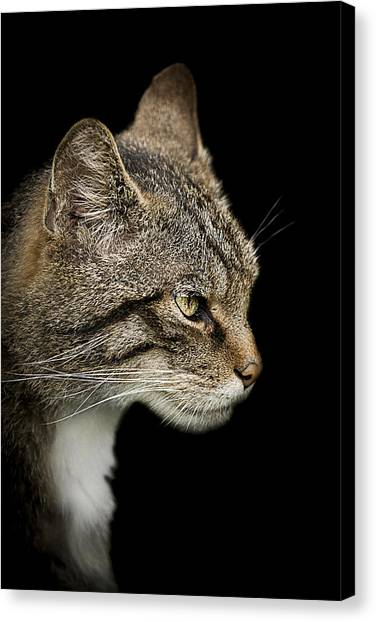 Scotland Canvas Print - Scottish Wildcat by Paul Neville
