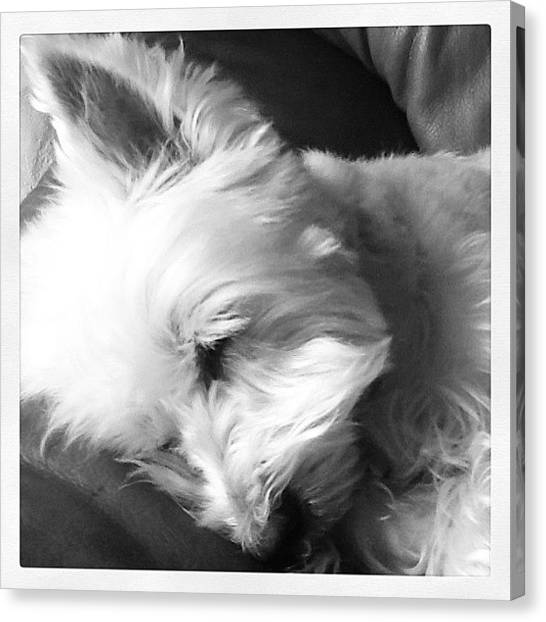 Scouting Canvas Print - #scout #westie #westhighland #sleeping by Kelly Hasenoehrl
