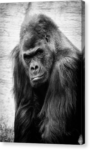 Scowling Gorilla Canvas Print