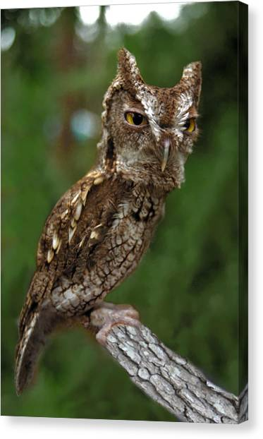 Screech Owl. Seminole County. Canvas Print