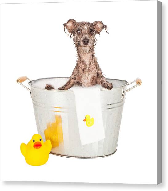 Scruffy Terrier In A Bath Tub Canvas Print