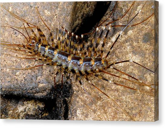 Centipedes Canvas Print - Scutigerid Centipede by Sinclair Stammers/science Photo Library