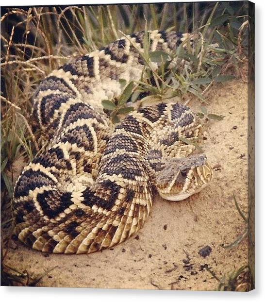 Rattlesnakes Canvas Print - Se Georgia Eastern Diamondback by Susan Scherr