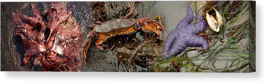 Conch Shells Canvas Print - Sea Critters by Panoramic Images