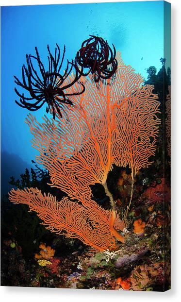 Sea Fan (gorgonia Canvas Print by Pete Oxford