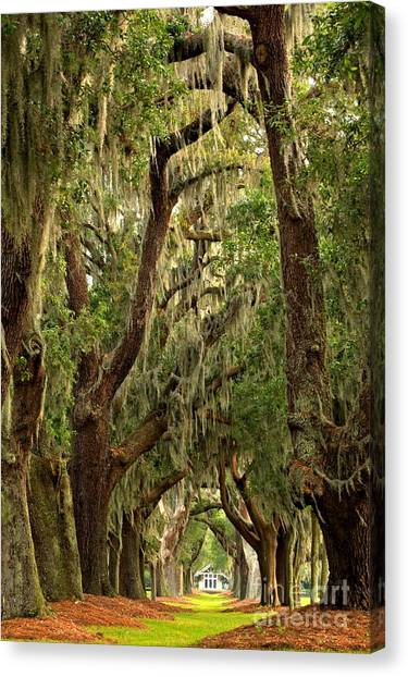 Sea Island Oaks Portrait Canvas Print