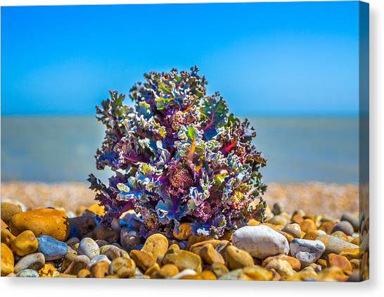 Canvas Print featuring the photograph Sea Kale. by Gary Gillette