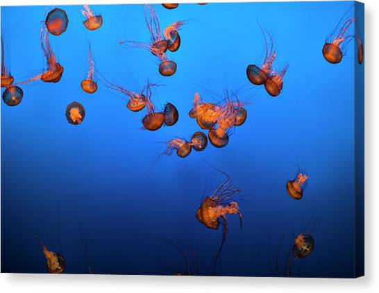 Sea Life And Jelly Fish Underwater The Canvas Print by Pgiam