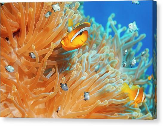 Sea Life - Anemone  Clownfish Canvas Print by Ultramarinfoto