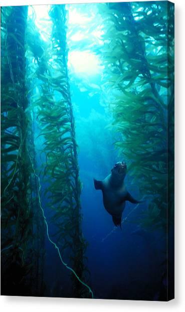 Kelp Forest Canvas Print - Sea Lion In Kelp by Greg Ochocki