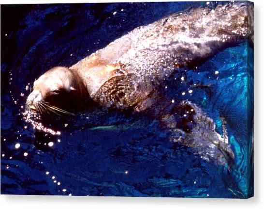 Sea Lion Swim Canvas Print by Robert  Rodvik