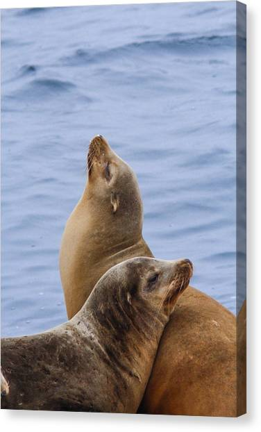 Sea Lions Canvas Print by Jill Bell