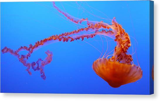 Sea Nettle Jellyfish Canvas Print