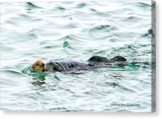 Sea Otter In Northern Cali Canvas Print by Rebecca Adams