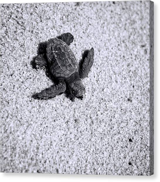 Sea Turtle In Black And White Canvas Print