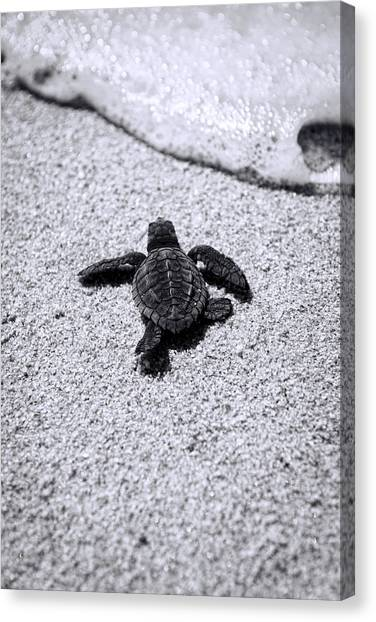 Turtles Canvas Print - Sea Turtle by Sebastian Musial