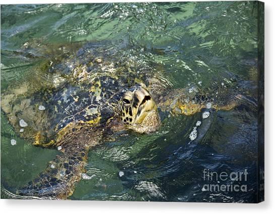 Sea Turtle Surface Canvas Print by Paul Karanik