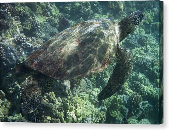 Sea Turtle Surfacing Canvas Print