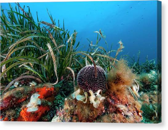 Seagrass Canvas Print - Sea Urchin And Seagrass On Reef by Alexis Rosenfeld/science Photo Library
