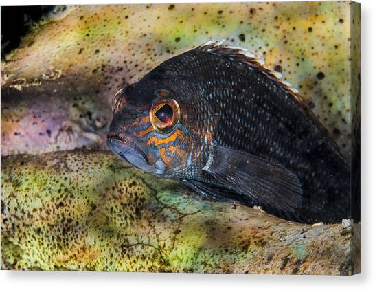 Seabass In A Shell Canvas Print