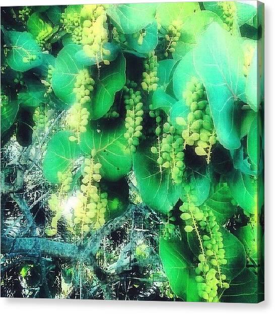 Mangrove Trees Canvas Print - #seagrapes, #mangroves, #beach by Melissa Hardecker