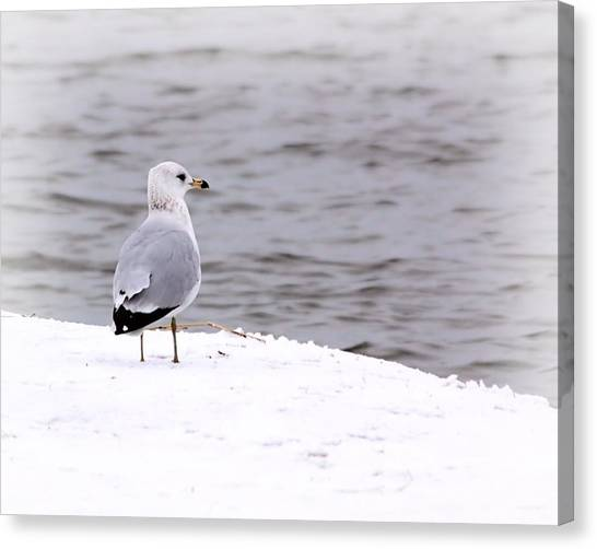 Seagull At The Lake In Winter Canvas Print by Elizabeth Budd