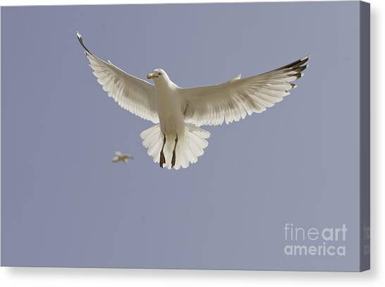 Seagull Hovering Canvas Print by Lesley Rigg