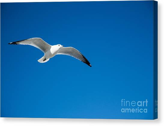 Seagull In Blue Skies Canvas Print by Mina Isaac