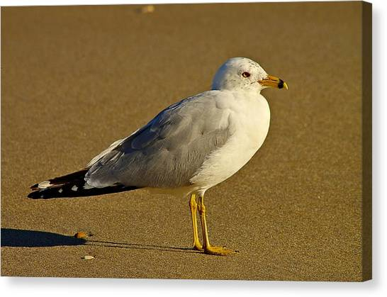 Seagull On The Beach Canvas Print