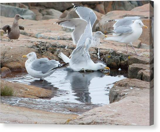 Seagull Swimming Pool - Acadia Canvas Print