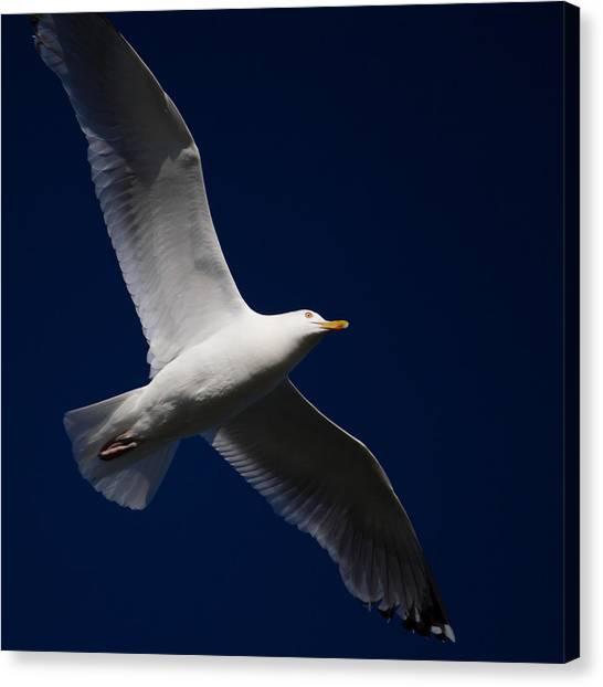 Seagull Underglow Canvas Print