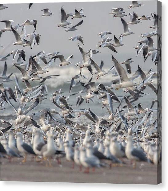 Flying Canvas Print - Seagulls by Hitendra SINKAR