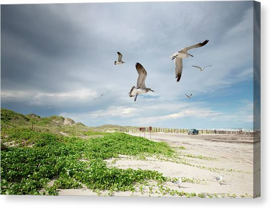 Seagulls In Flight At North Padre Canvas Print