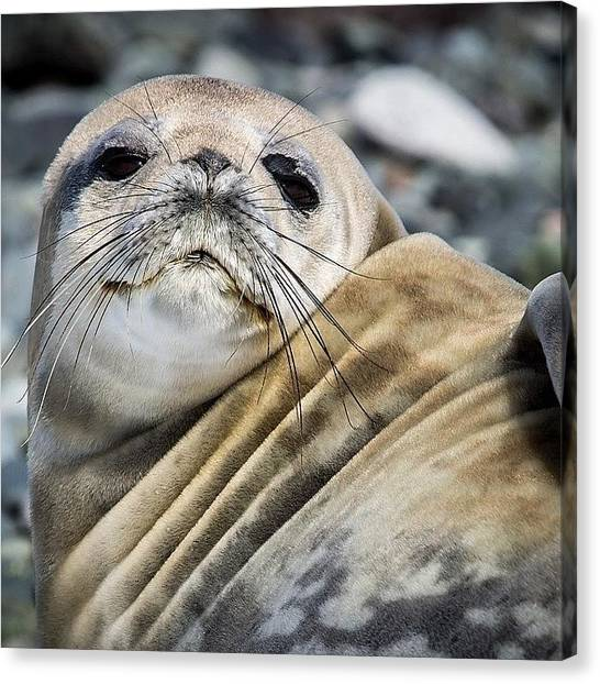 Antarctica Canvas Print - #seal #cute #beautiful #beach by David Lamberti