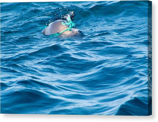 Seal Pup In Distress Canvas Print