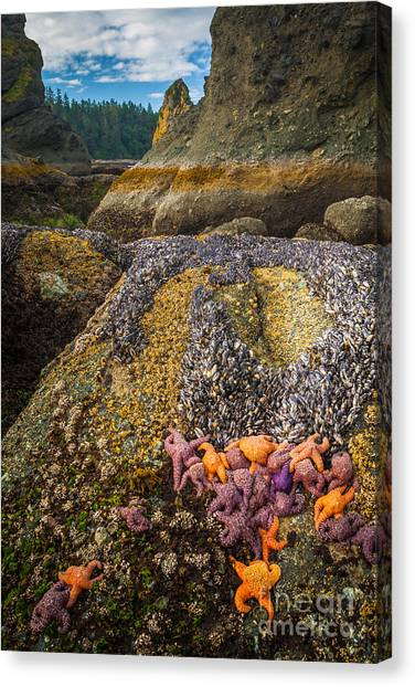 Olympic Peninsula Canvas Print - Seastars And Barnacles by Inge Johnsson