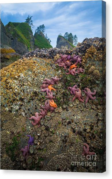 Olympic Peninsula Canvas Print - Seastars At Point Of The Arches by Inge Johnsson