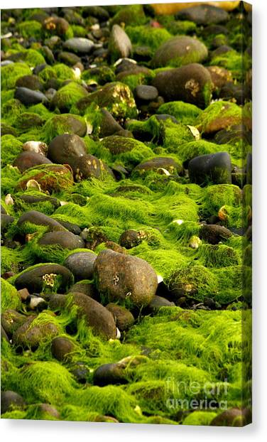 Seaweed And Rocks 2 Canvas Print