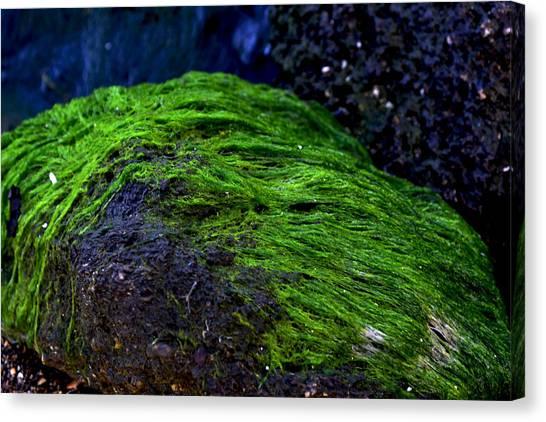 Seaweed Canvas Print by Victoria Clark