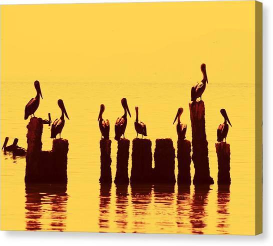 Secret Life Of Pelicans Canvas Print