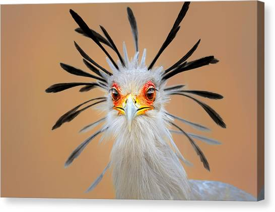 Secretary Bird Portrait Close-up Head Shot Canvas Print