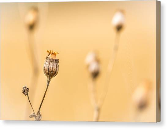 Canvas Print featuring the photograph Seed Pod. by Gary Gillette