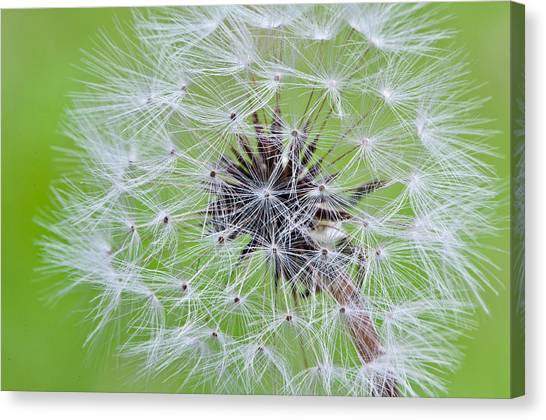 Seeds Of Life Canvas Print