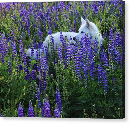Sekani In Lupine Canvas Print