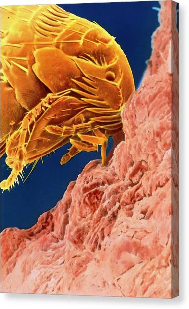 Fleas Canvas Print - Sem Of Cat Flea Sucking Blood by K.h. Kjeldsen/science Photo Library